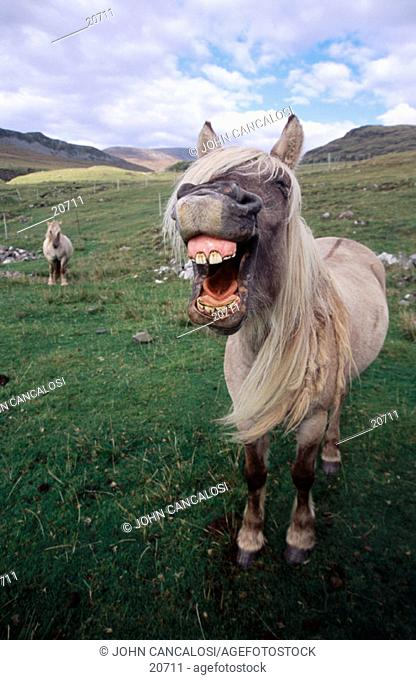 Rum Pony. Isle of Rum. Scotland