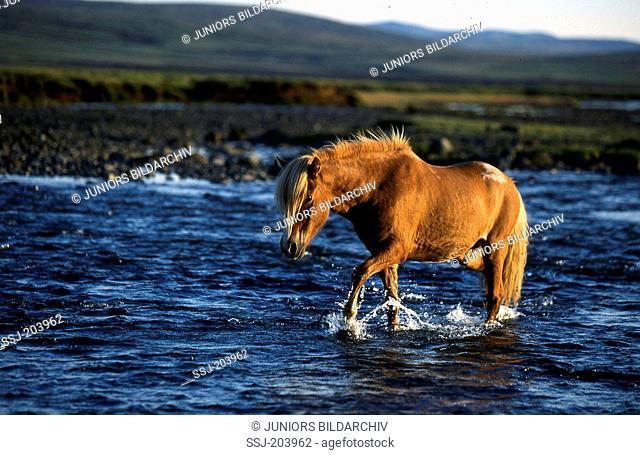 Icelandic Horse. Single horse crossing a stream. Iceland