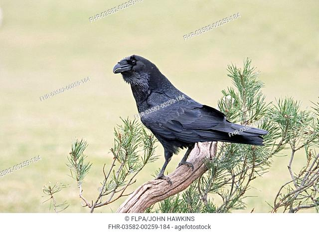 Common Raven Corvus corax adult, calling, perched in scots pine, England, december
