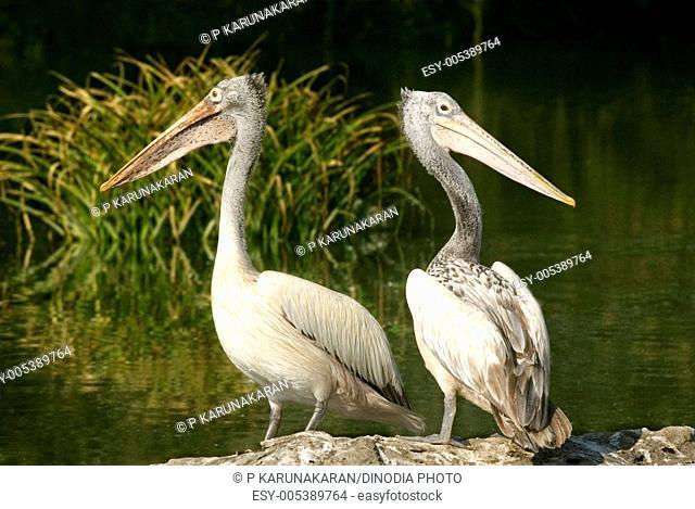 Birds ; spotted billed pelican pelecanus philippensis pair on lakeside ; Ranganathitto ; Mysore ; Karnataka ; India 18-February-2009