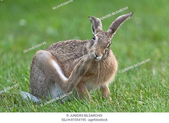 European Brown Hare (Lepus europaeus). Adult on grass, scratching itself. Germany