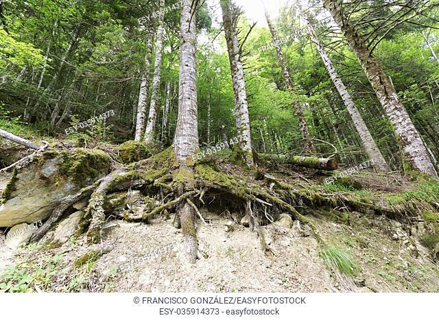 Forest in the Seva de Irati in Navarra, Spain