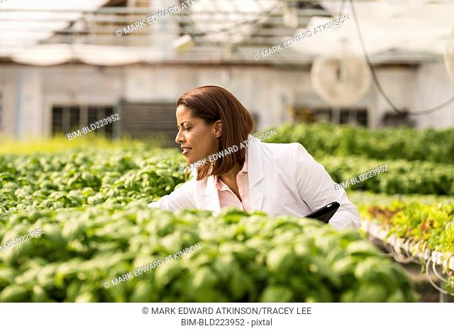 Black scientist checking green basil plants in greenhouse