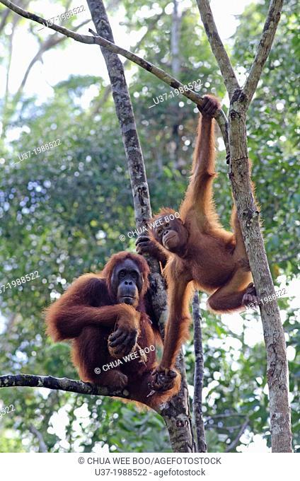 Orang utan mother and child. Semengoh Wildlife Centre, Sarawak, Malaysia
