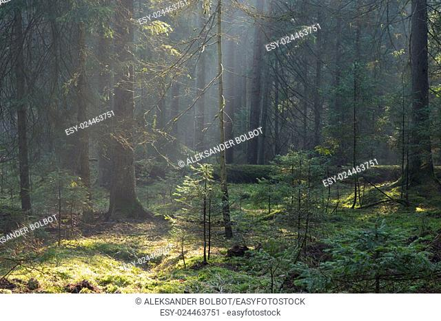 Sunbeam entering coniferous stand in misty morning,BIalowieza Forest,Poland,Europe