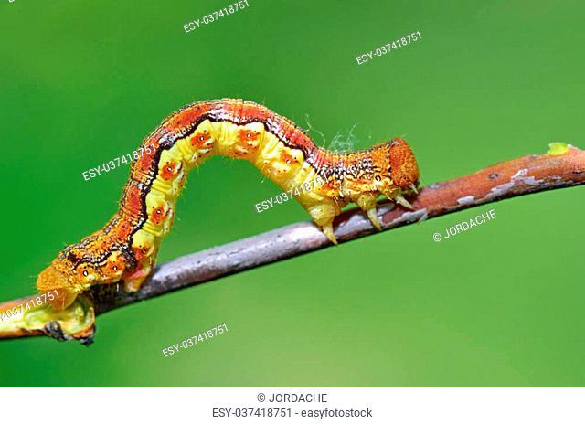 Caterpillar macro shoot in forest