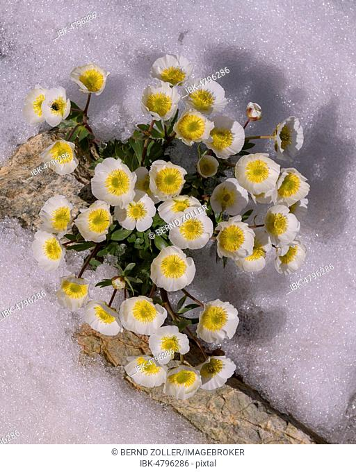Glacier crowfoot (Ranunculus glacialis), blooming in the snow, Diavolezza, Eastern Alps, Engadin, Switzerland
