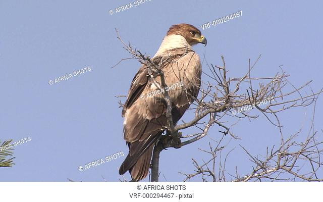 A large Tawny Eagle (Aquila rapax), bird, sitting at the top of a dry tree in the African Bushveld, Bush, South Africa