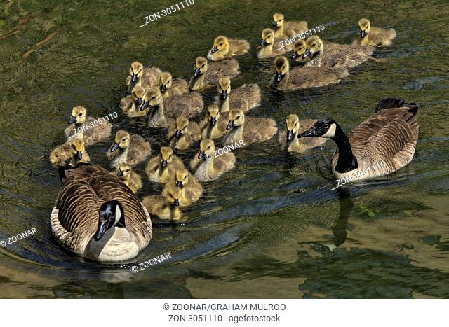 UK Berkshire Family Of Geese