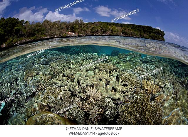 Hard Corals on Reef Top, Acropora sp., Loyalty Islands, New Caledonia