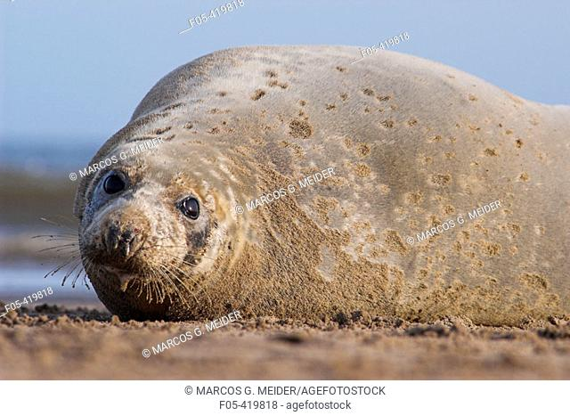Grey Seal (Halichoerus grypus), female. Donna Nook National Nature Reserve, England. UK