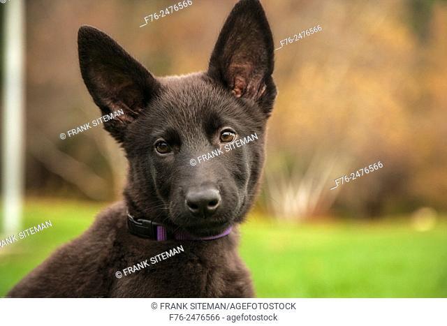 Portrait of 12 week old black German Shepherd, PR# 141029