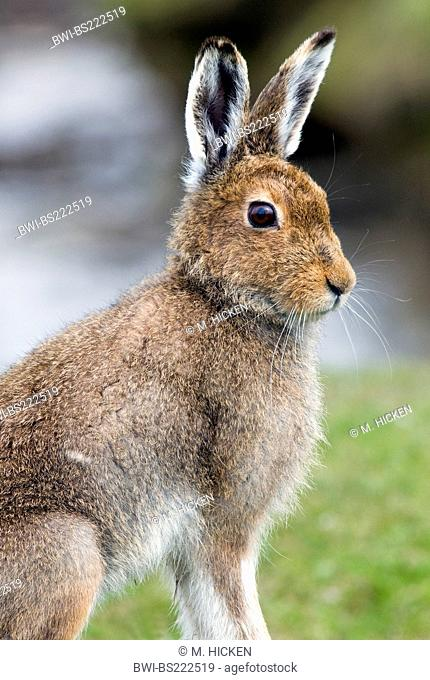 Scottish blue hare, mountain hare, white hare, Eurasian Arctic hare (Lepus timidus scotticus, Lepus scotticus), with summer fur, United Kingdom, Scotland