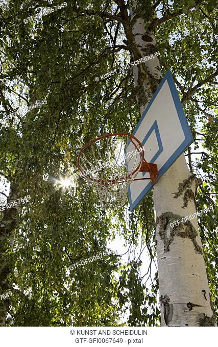 A basketball hoop is mounted in a birch tree