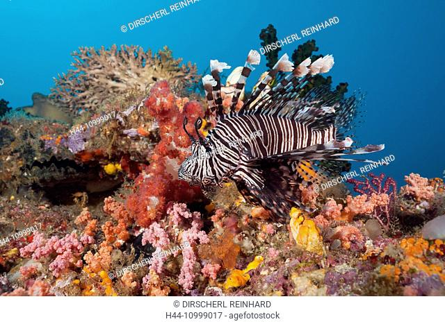 Lionfish over Coral Reef, Pterois volitans, Raja Ampat, West Papua, Indonesia