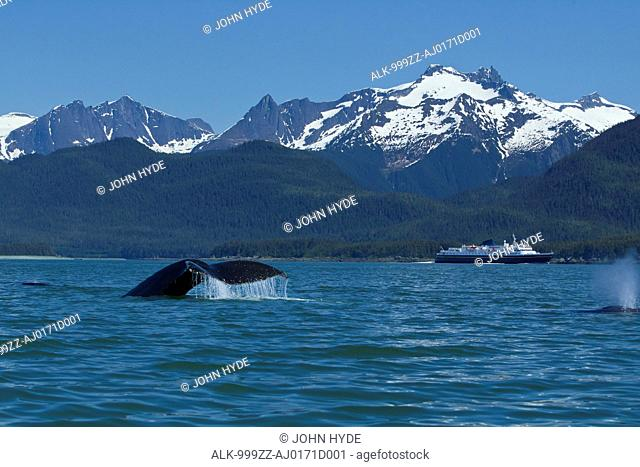 COMPOSITE: Humpback Whale fluking in Lynn Canal with a ferry in the distance, Inside Passage, Southeast Alaska, Summer