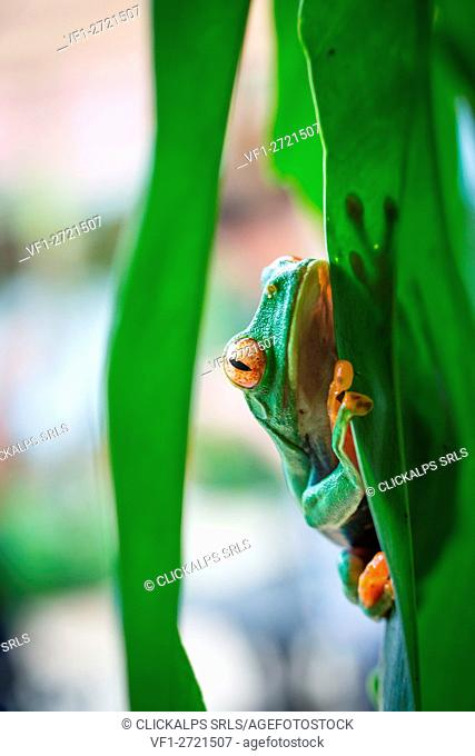 Tortuguero National Park, Costa Rica, Central America. Wild red eyed tree frog looking at the camera