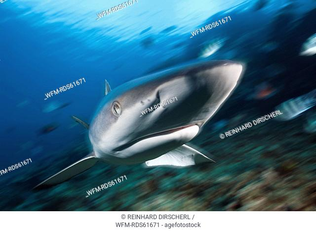 Grey Reef Shark, Carcharhinus amblyrhynchos, Beqa Lagoon, Viti Levu, Fiji