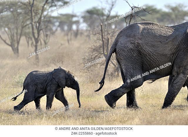 Young Elephant (Loxodonta africana ) walking behind mother in Serengeti national park, Tanzania