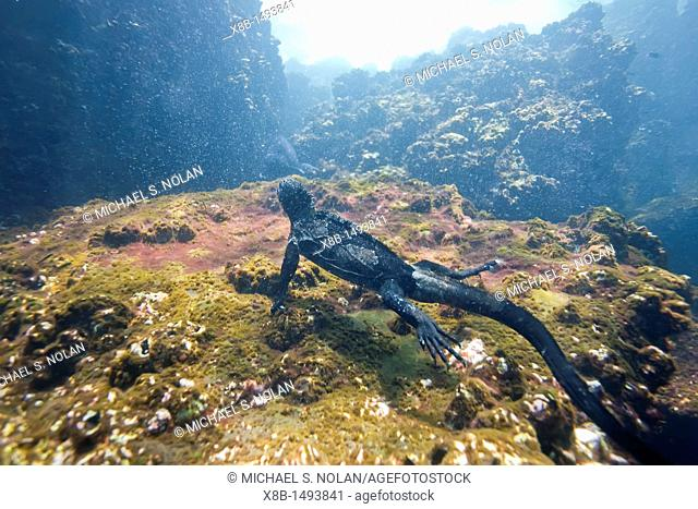 The endemic Galapagos marine iguana Amblyrhynchus cristatus feeding underwater in the Galapagos Island Archipelago, Ecuador  MORE INFO This is the only marine...