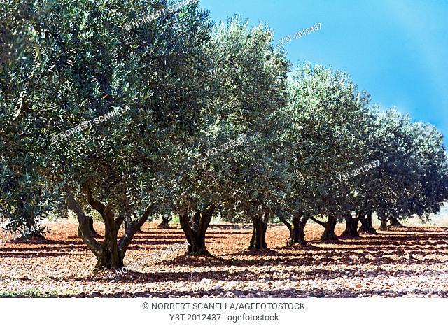 Europe, France, Alpes-de-Haute-Provence, 04, Regional Natural Park of Verdon, Valensole. Field of olive tree