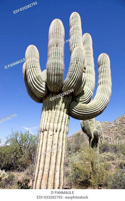 Giant thorny Saguaro Cactus in Sonora Desert of Southwestern USA