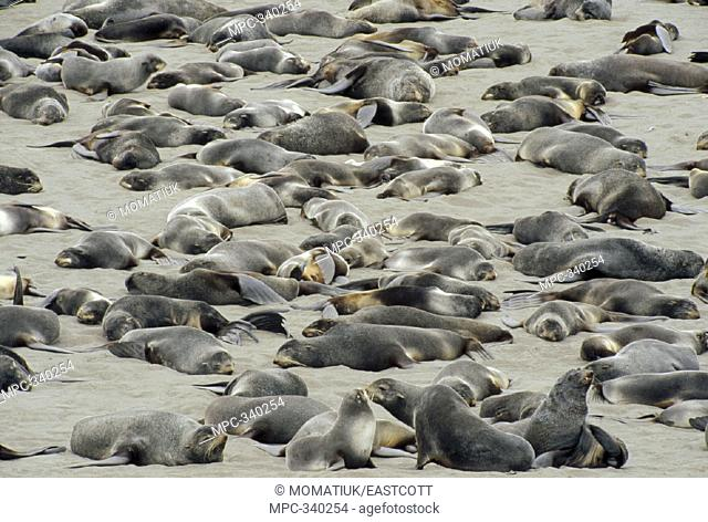NORTHERN FUR SEALS (Callorhinus ursinus), SUB-ADULT AND NON-TERRITORIAL BULLS RESTING ON HAUL OUT BEACH IN SUMMER, ST. PAUL ISLAND, THE PRIBILOFS, ALASKA