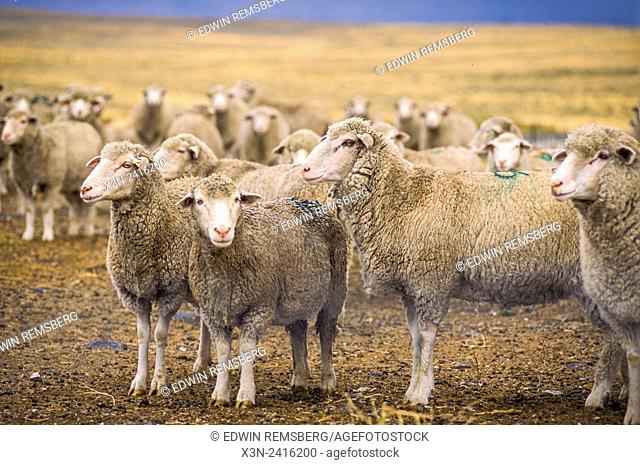 Idaho, USA - USDA/U of Idaho Sheep experiment station, Polypay, Targhee, and Columbia Sheep