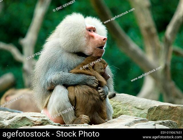 baboon monkey in love