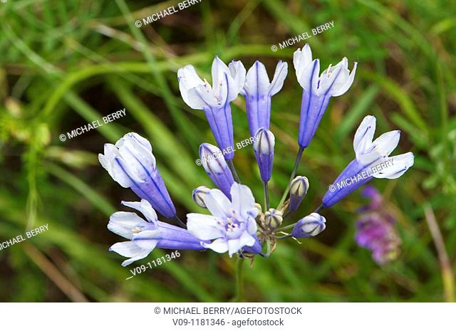 Cluster-lily (Brodiaea howellii), Columbia River Gorge, USA