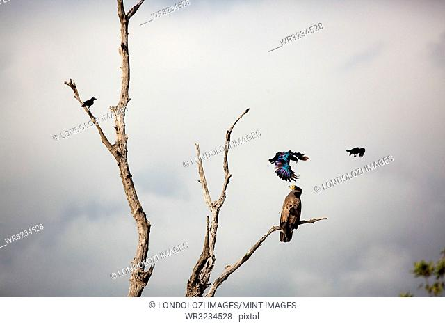 An African harrier-hawk, Polyboroides typus, perched in a dead tree, two Burchell's starling, Lamprotornis australis, attack the hawk