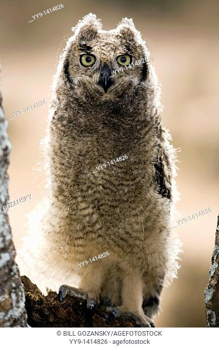 Spotted Eagle-owl - Loita Hills, Kenya