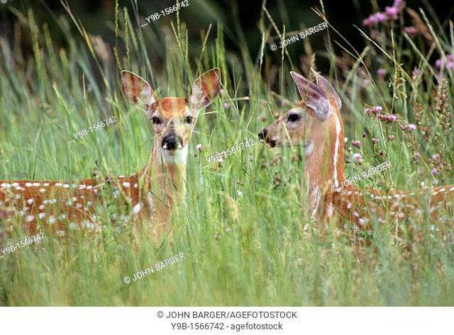 WHITE-TAILED DEER Odocoileuis virginianus two fawns in tall grass, National Bison Range, Montana, USA