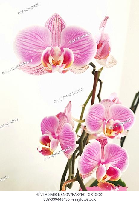 Blooming pink orchid