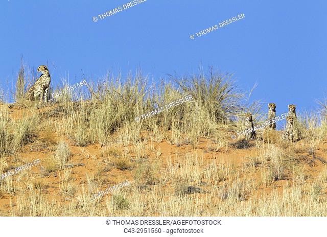 Cheetah (Acinonyx jubatus). Female with four cubs on a grass-grown sand dune, observing their surroundings. Kalahari Desert, Kgalagadi Transfrontier Park