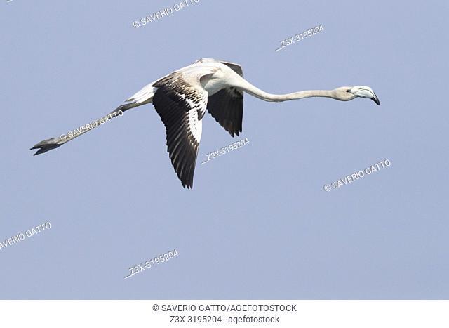 Greater Flamingo (Phoenicopterus roseus), juvenile in flight showing upperparts