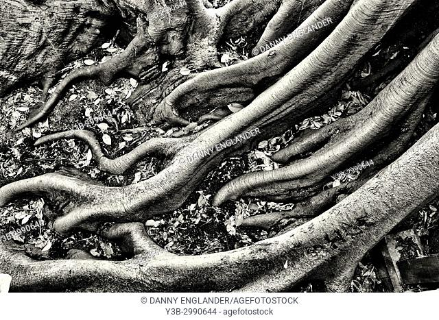 Detailed and close-up view of fig tree roots