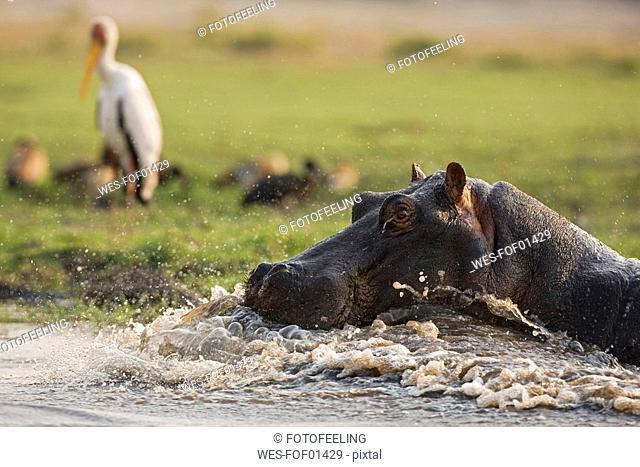 Africa, Botswana, Hippopotamus Hippopotamus amphibius in water