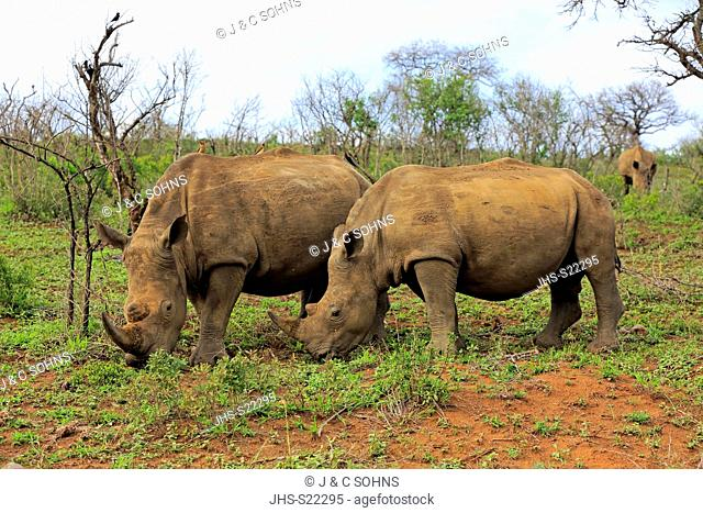 White Rhinoceros, Square-Lipped Rhinoceros, (Ceratotherium simum), adults female with young feeding, searching for food, Hluhluwe Umfolozi Nationalpark