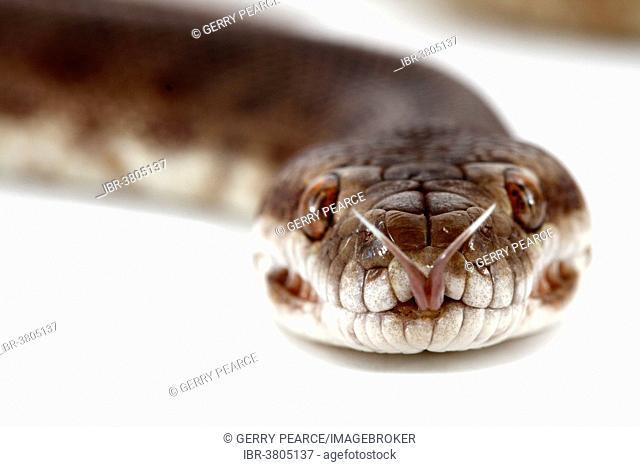 Children's Python (Antaresia childreni)
