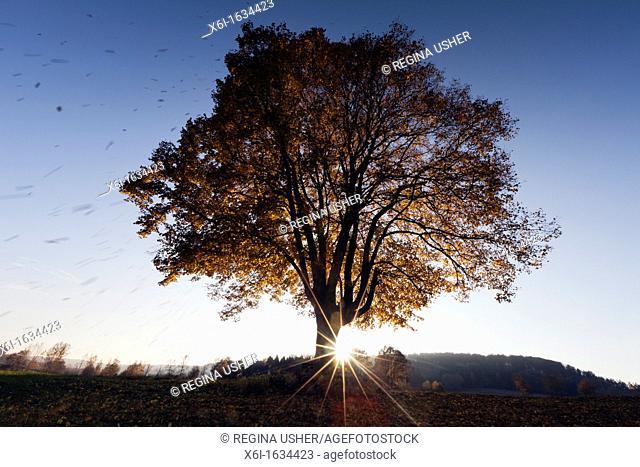 Common Lime Tree Tilia europaea, Leaves Falling and Setting Sun in Autumn, Hessen, Germany