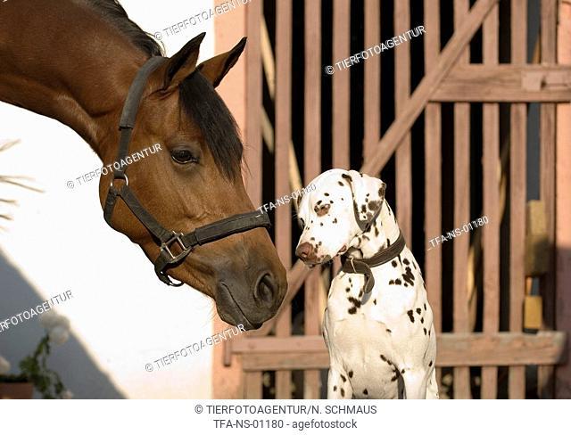 horse and dalmatian