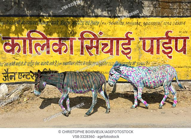 India, Rajasthan, Udaipur region, Diwali festival, Painted donkeys. . The fourth day of Diwali festival is marked by animal worship