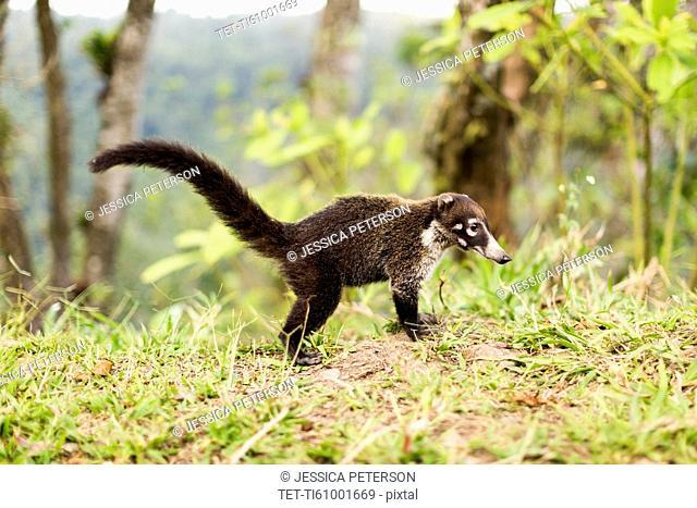 Coati in grass