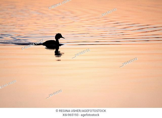 Great Crested Grebe Podiceps cristatus, silhouette of bird on lake at twilight, Island of Texel, Holland