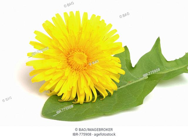 Dandelion (Taraxum officinale, Leontodon officinale), medicinal plant