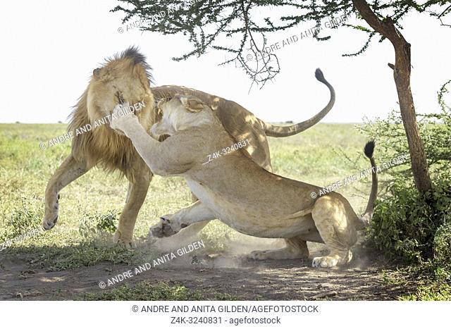 Lioness swipes at a lion (Panthera leo) immediately after mating, Ngorongoro conservation area, Tanzania