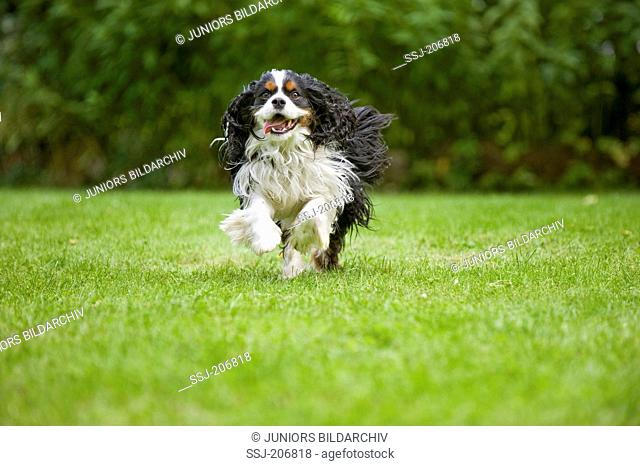 Cavalier King Charles Spaniel. Tricolour adult running on a lawn. Germany