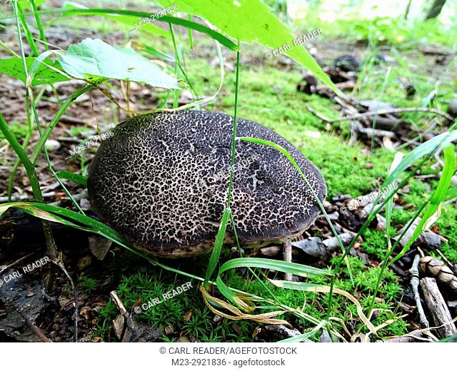 A large mushroom on the forest floor, Pennsylvania, USA