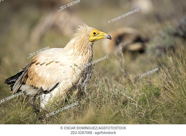 Egyptian vulture (Neophron percnopterus) portrait. Pre-Pyrenees. Lleida province. Catalonia. Spain. Endangered species